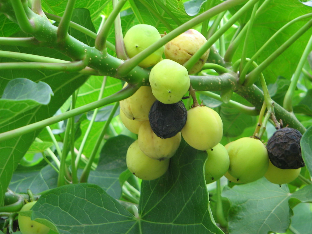 jatrophaall fruits to harvest