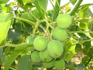 Jatropha at fruiting stage