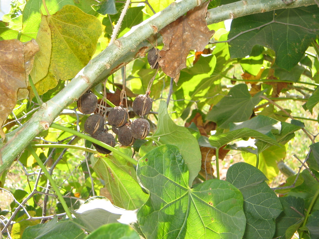 Jatropha dried fruits