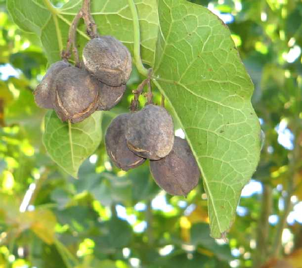 jatropha matured fruits